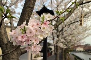 ooshimasakura1